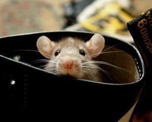 Что делать если за гипсокартоном сдохла мышь